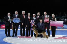 belgian sheepdog vs german shepherd german shepherd dog u201crumor u201d wins best in show at largest ever akc