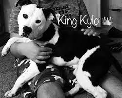 american pitbull terrier 9 meses 25 melhores ideias sobre gottiline pitbulls no pinterest