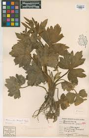 douglas maple acer glabrum pacific northwest native tree cpnwh search results