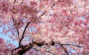 cherry blossom tree facts what are sakura wonderopolis
