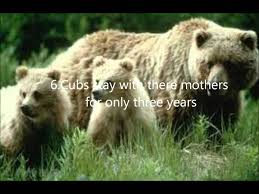 8 interesting facts about grizzly bears
