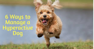 hyperactive dogs 6 ways to manage a hyperactive dog thedogtrainingsecret com