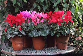 Fragrant Indoor House Plants - indoor cyclamen will flower all winter and many are scented too