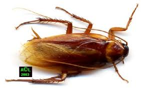 blatte de cuisine les blattes