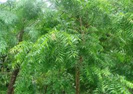 neem tree of the 21st century medicinal plants