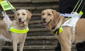 Dogs Helping Blind People See Through The Eyes Of A Guide Dog As Video Shows Dangers Faced