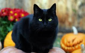 wallpapers de halloween wallpaper de un gato negro de halloween 1680x1050 fondos de