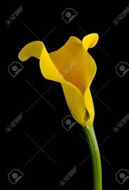yellow calla yellow calla flower on a black background stock photo