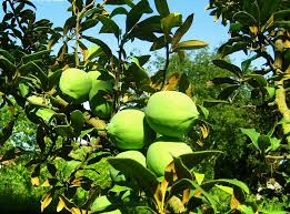 what is quince fruit learn about growing quince trees