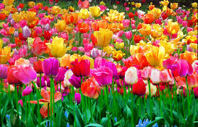 beautiful plants beautiful tulips and colorful flower garden relaxing meditation