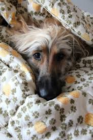 afghan hound coat colors 27 best afghan hound images on pinterest afghans hound dog and