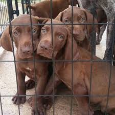 puppies indiana pointeraner weimaraner gsp hybrid cross mix breed puppies for