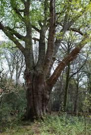 pedunculate oak knightwood oak near the bolderwood arboretum