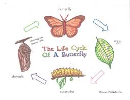 life cycle of a butterfly for children