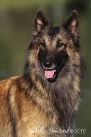 belgian shepherd quebec specialite canadienne