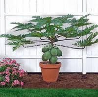 best bonsai fruits trees to buy buy new bonsai fruits trees