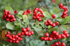 berries of ornamental bush in garden stock photos freeimages