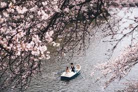 cherry blossom wedding bradmelwedding cherry blossoms pre wedding phootshoot in tokyo