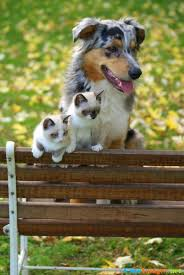 australian shepherd male names siamese kittens and an australian shepherd images cuteimages net