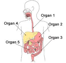 human body digestive system science worksheet for grade 5 at