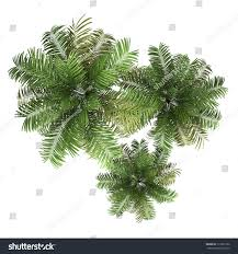 top view three areca palm trees stock illustration 113361256