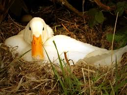 duck pictures and facts