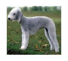 grooming a bedlington terrier puppy bedlington terrier breed information u0026 pictures rothbury terrier