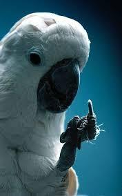 Parrot Meme - 102 best parrot memes images on pinterest parrots budgies and