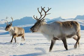 11 things you might not know about reindeer mental floss
