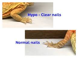 bearded dragon lighting guide a guide to bearded dragon mutations and genetic traits