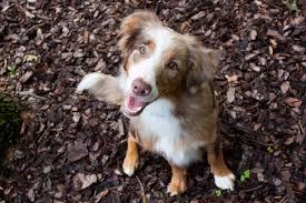 australian shepherd up for adoption home carolina hearts aussie rescue