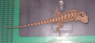 hatchling baby hypo citrus red bearded dragons sale