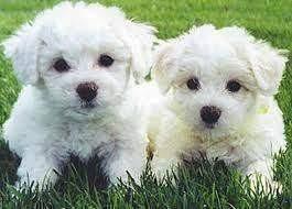 bichon frise breeders excellent bichon frise puppies thailand ad free ads 80 000