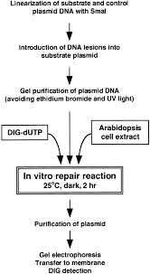 repair of damaged dna by arabidopsis cell extract plant cell