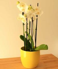 moth orchid send a moth orchid as a plant gift quality plants fast uk delivery