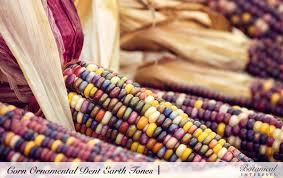 corn ornamental dent earth tones seeds botanical interests high