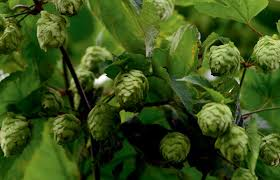 cropped tips for growing hops modern farmer