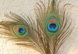 how to draw a peacock feather u2014 simplified