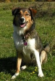 incrocio border collie x australian shepherd american eagle dog eskimo americano beagle hibryd dog cani