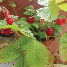 strawberry plants white flower farm