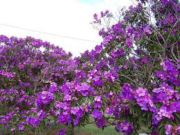tree with purple flowers purple flowers tree 13 hd wallpaper hdflowerwallpaper