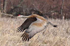 Michigan birds images Michigan birds sandhill crane michigan in pictures jpg