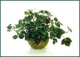 cissus rhombifolia known as grape and oak leaf ivy