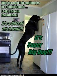 Great Dane Meme - i has a hotdog great danes funny dog pictures dog memes