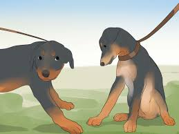 how to care for a rottweiler puppy 14 steps with pictures