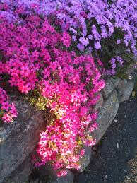 creeping phlox my favorite plant just plant and it grows and