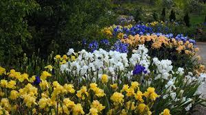 japanese iris flowers gives beautiful variation to garden