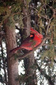 cardinal in cedar tree i photos of birds in their