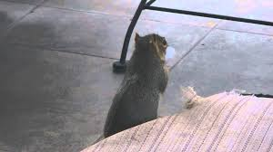 Where To Buy Cushion Stuffing Squirrel Steals Stuffing From Lounge Chair Cushion For His Nest