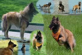 belgian shepherd herding canine transformations about us